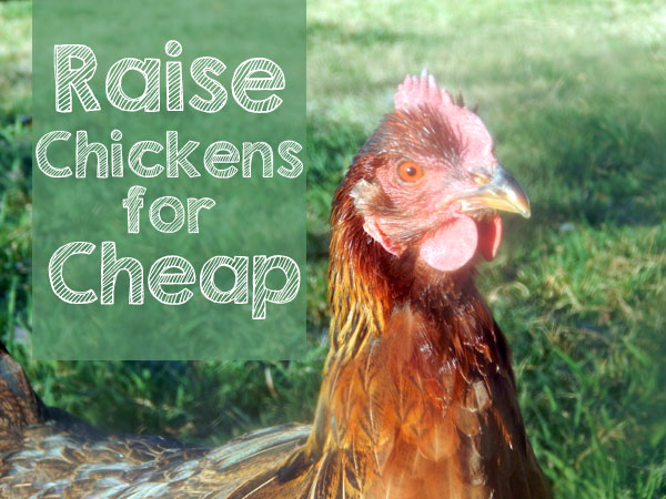 raising chickens for cheap